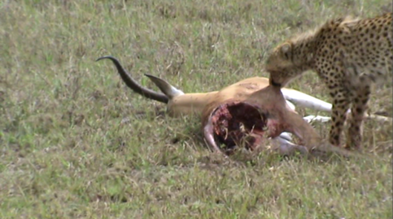 cheetah kill